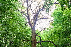 High old tree ash in the spring green forest Royalty Free Stock Photography