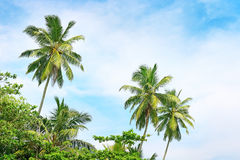 High palm on background of blue sky Royalty Free Stock Photo