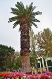 High palm in the center of Baku stock photos