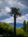 High palm in front of mountains Stock Photos