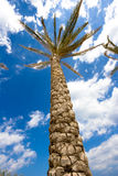 High palm tree. On blue sky as background Stock Photography