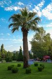 High palm tree in the city park Stock Photo