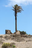 High palm tree in Haria city, Stock Images