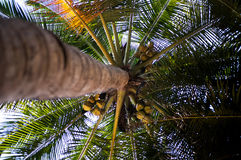 High palm tree with ripe coconuts, view from below. Stock Image