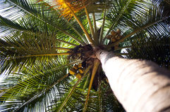 High palm tree with ripe coconuts, view from below. Royalty Free Stock Photos