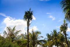High Palm Tree among Palm Tops against Blue Sky with Clouds Royalty Free Stock Images