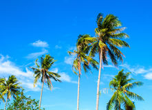 High palm tree on tropical island. Bright blue sky background. Summer vacation banner template. Fluffy palm tree with green leaves. Coconut palm under sunlight Stock Image