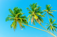 High palm trees against blue sky Stock Photography