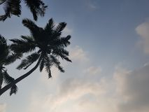 High palm trees. High palms stretch into the sky Stock Image