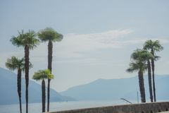 High palm trees with mountain and lake background at ascona lago maggiore switzerland. High palm trees with mountain and lake background Royalty Free Stock Photos