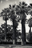 High palms in black and white. A few high palm trees; sky and some other lower trees on the background Royalty Free Stock Photography