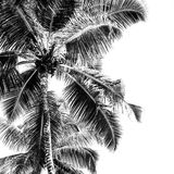 High palms on a tropical beach. Black and white Royalty Free Stock Image