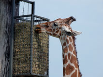High pasture giraffes. Stock Photos