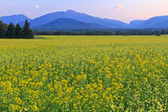 High Peaks Canola Field Stock Image