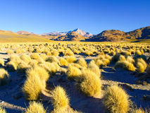 High peaks and typical grass clumps in Cordillera de Lipez, Andean Altiplano, Bolivia, South America Stock Images