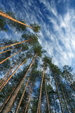 High pine forest. Against blue sky royalty free stock photo