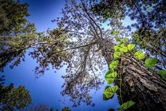 The high pine in the forest. The bottom view of the high pine in the forest royalty free stock photos