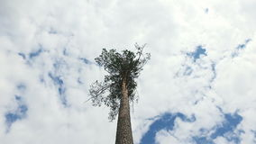 High pine top on a background of blue sky and clouds. Movement around the tree stock footage