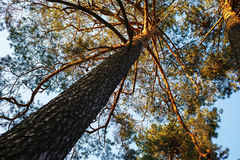 High pine tree Royalty Free Stock Photography