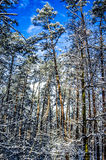 High pine trees on blue sky background in the winter forest. Royalty Free Stock Images