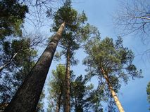 High pine trees, directed in the sky. royalty free stock photo