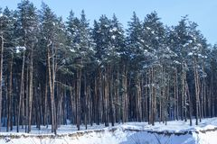 High pine trees on the edge of a forest under a blue sky. Bright winter day is very beautiful no one around Stock Image
