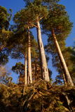 High pine trees Stock Photography
