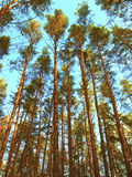 High pine-trees are in the forest Royalty Free Stock Photo