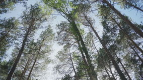 High pine trees in the forest against the sky stock footage