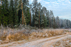 High pine trees in the forest Stock Photography