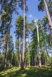 High pine trees in a forest royalty free stock photos