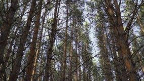 High pine trees in the forest swaying. From the wind stock video footage
