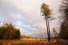 Pine trees on landscape in Dwindelderveld Royalty Free Stock Photo