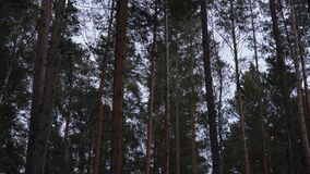 High pine trees slowly swaying in the wind. In the forest against the sky stock video footage