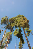 High pine trunks, lush crown and soft blue sky. High pine trunks and lush crown, towering up on background of soft blue sky Royalty Free Stock Photo