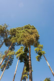 High pine trunks, lush crown and soft blue sky. High pine trunks and lush crown, towering up on background of soft blue sky Royalty Free Stock Image
