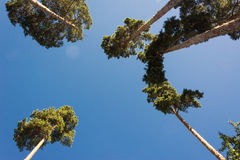 High pine trunks, lush crown and soft blue sky Stock Photos