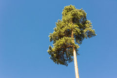 High pine trunks, lush crown and soft blue sky Royalty Free Stock Photos