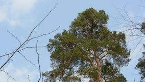High pines drift green branches in the wind. Coniferous branches against the blue sky are moving by the wind stock video footage