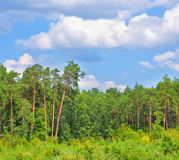 High pines in the forest. On cloudy sky background royalty free stock images