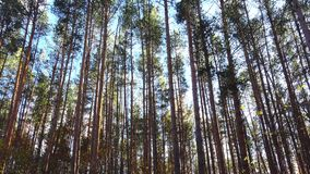 High pines in forest at beautiful day, dolly shoot.  stock video footage