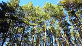 HIgh pines in forest at beautiful day, timelapse. Pine forest. Pine forest. HIgh pines in forest at beautiful day stock video footage