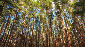 High pines in forest and flying clouds, timelapse.  stock video footage