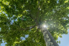 High Plane tree with green leaves View from bottom. royalty free stock photos