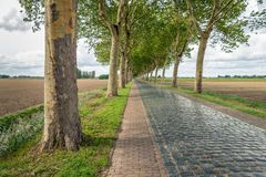High plane trees along a road with cobblestones. Tall plane trees along a road with reflective cobblestones. Some trees have grown crooked because of the royalty free stock photo