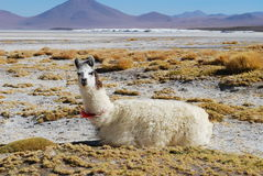 High plateau llama Stock Photo