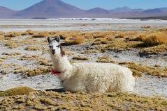 High plateau llama Stock Photo