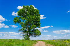 High poplar in the field Royalty Free Stock Photo