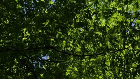Trees in the forest. High and powerful trees in the forest stock video footage