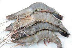 High quality fresh prawns Royalty Free Stock Image
